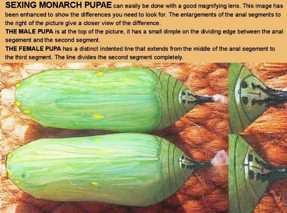 Sexing Monarch Pupae (illustration © Nigel Venters)